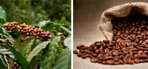 Kaffeekirschen_Kaffeebohnen_Coffea-Kaffee